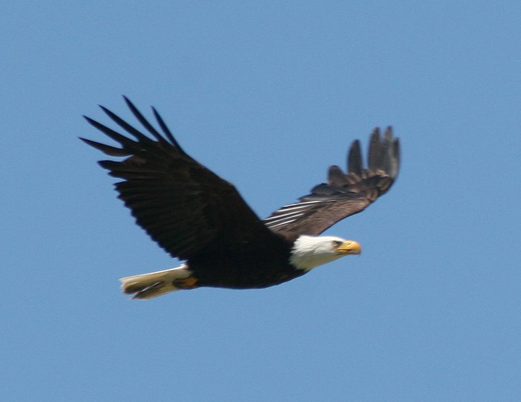 Bald eagle soaring irv2 com rv photo gallery