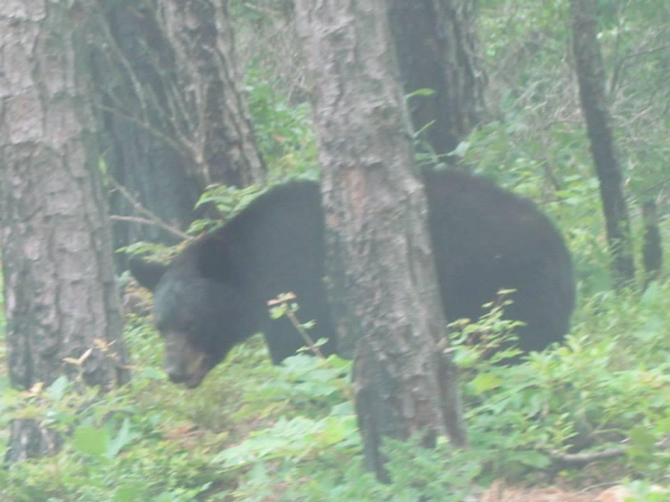 Click image for larger version  Name:Bear VA (5).jpg Views:121 Size:62.6 KB ID:102689
