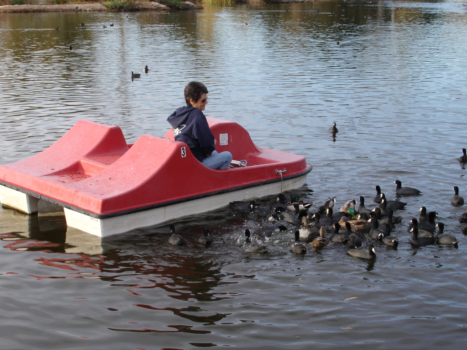 Click image for larger version  Name:Duck Feeding.jpg Views:33 Size:364.3 KB ID:117448