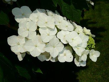 Click image for larger version  Name:Oak Leaf Hydrangea 001.jpg Views:125 Size:44.5 KB ID:1309