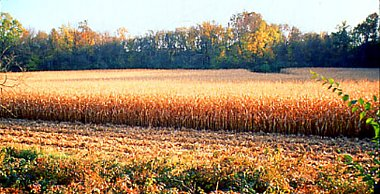 Click image for larger version  Name:Corn field #2.jpg Views:11 Size:139.2 KB ID:336957