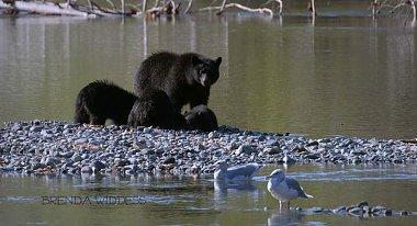 Click image for larger version  Name:Brenda Widdess Bear & Cubs.jpg Views:42 Size:73.5 KB ID:47928