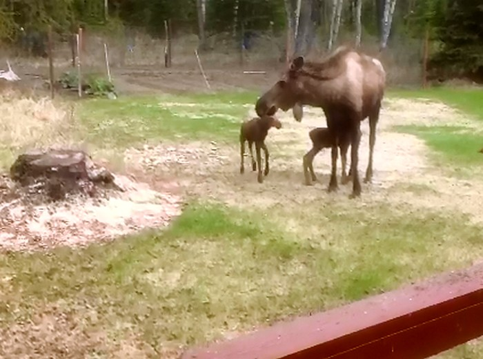 Click image for larger version  Name:moose1.jpg Views:34 Size:86.0 KB ID:49794