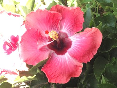 Click image for larger version  Name:Hibiscus 1.jpg Views:35 Size:269.5 KB ID:57180