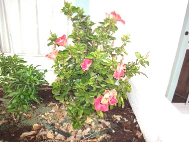 Click image for larger version  Name:Full Hibiscus.JPG Views:37 Size:141.6 KB ID:57261