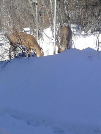 Click image for larger version  Name:Deer 4.jpg Views:49 Size:18.0 KB ID:57363