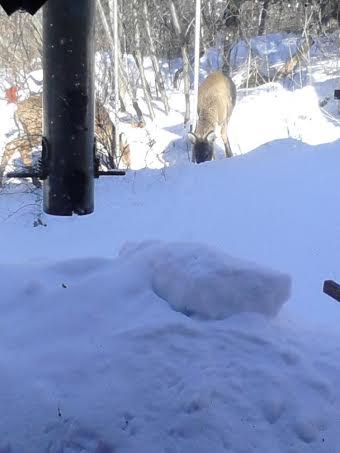 Click image for larger version  Name:Deer 3.jpg Views:52 Size:17.4 KB ID:57364