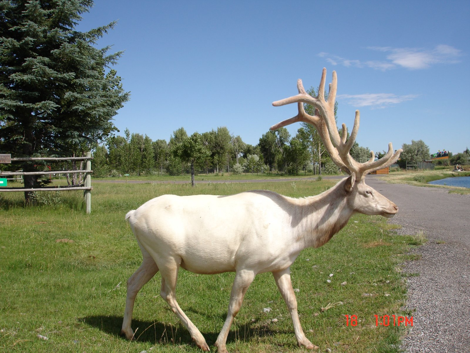Click image for larger version  Name:White Elk #2.jpg Views:194 Size:440.2 KB ID:70387
