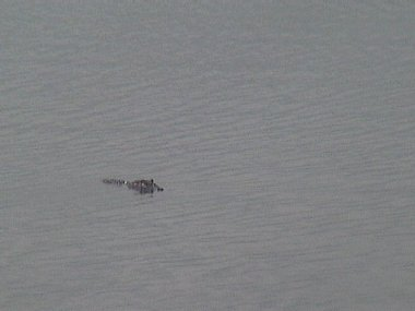 Click image for larger version  Name:alligator.jpg Views:67 Size:66.5 KB ID:92520